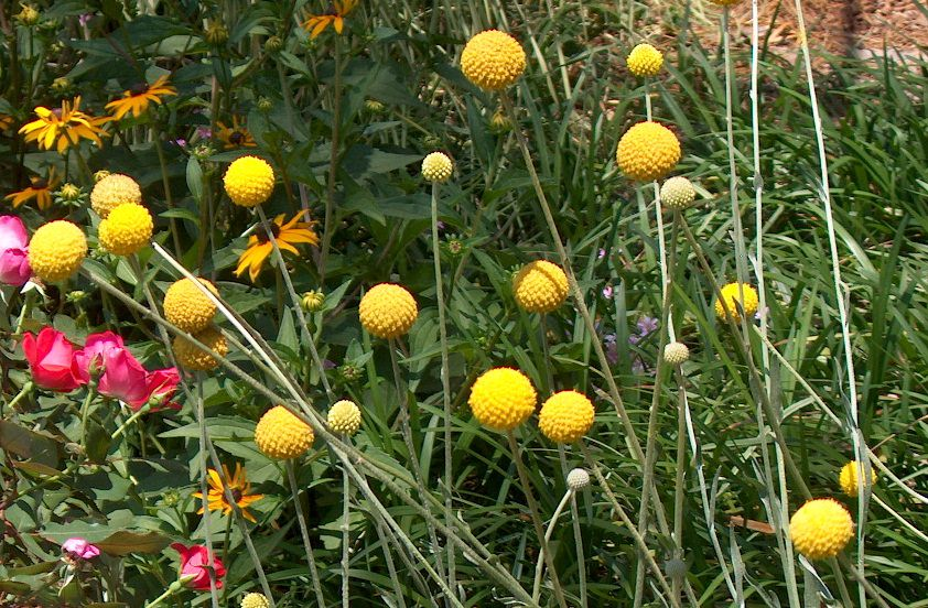 Learn How to Grow Craspedia (Billy buttons) in this article. It looks great in garden borders. You can also use it in vases and floral arrangements.