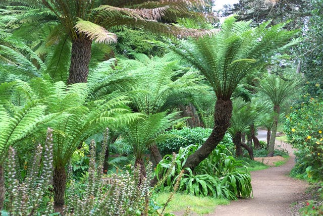 how to grow dicksonia antractica tree fern_mini