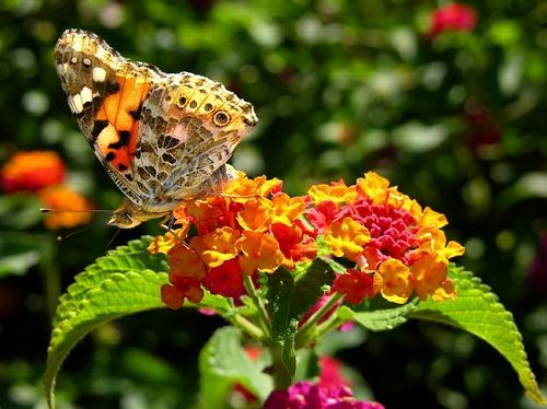 How To Grow Lantana Care And Growing Lantana