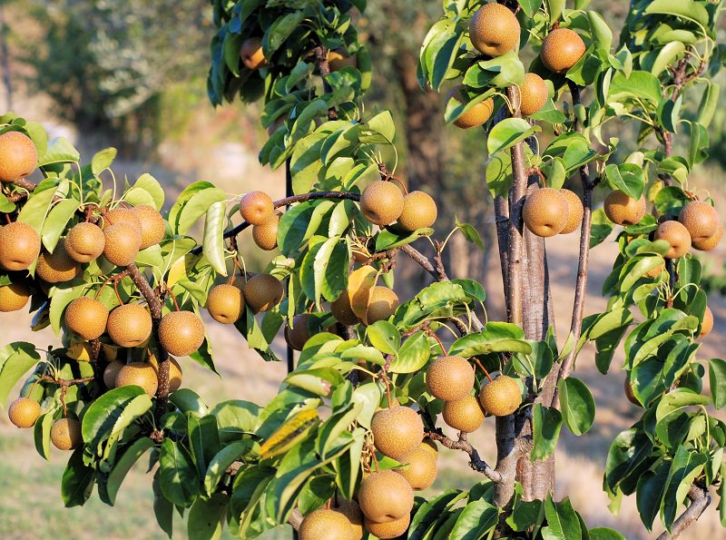 how to grow nashi pears_mini
