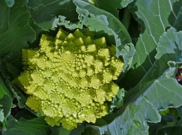 how to grow romanesco
