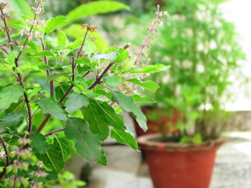 How to Grow Tulsi Plant | Care and Growing Holy Basil