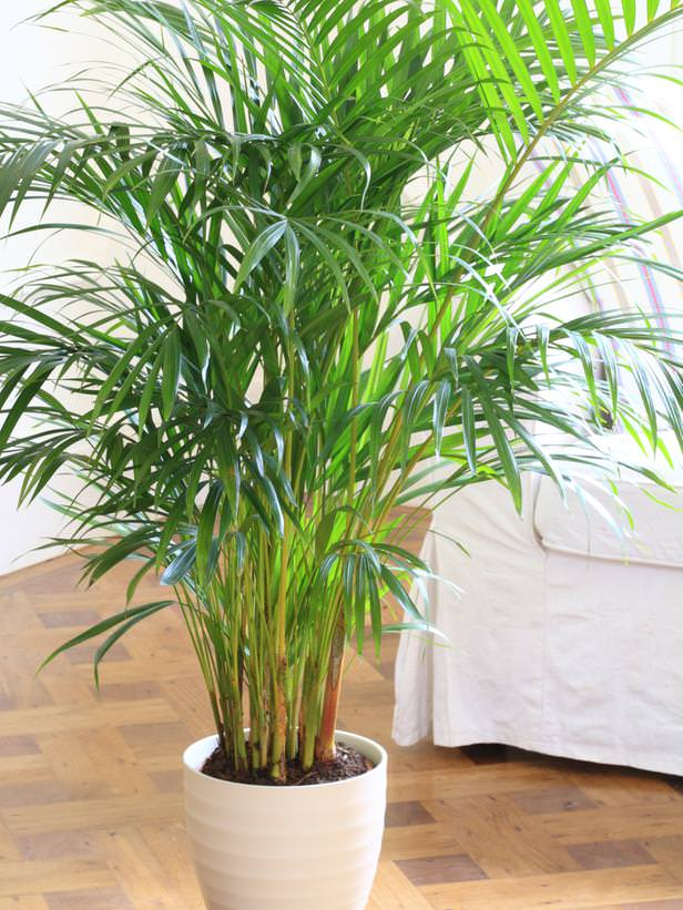 parlor-palm_mini