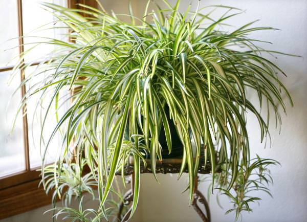 spider-plant-easy-apartment-plants