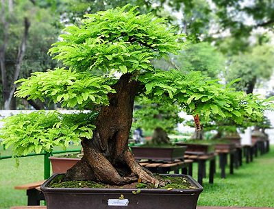 tamarind bonsai