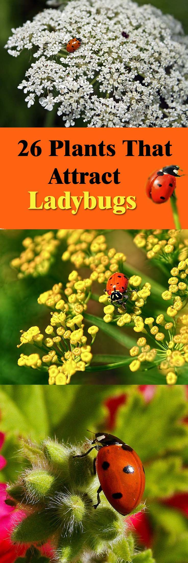 Learn about the plants that attract ladybugs, ladybugs are one of the most beneficial insects that much that you should invite them in your garden to repel pests away.