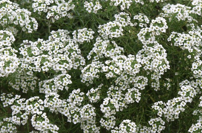 Alyssum-Snow-Princess