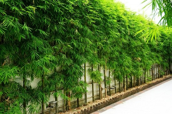 Best Bamboo for a Hedge