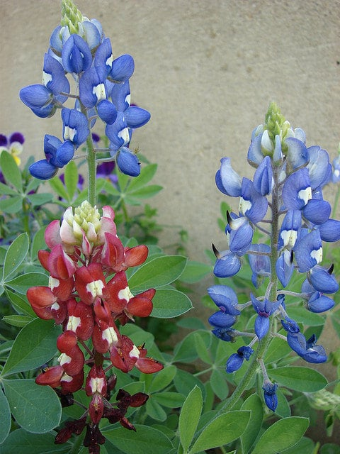 The best time for growing Bluebonnets