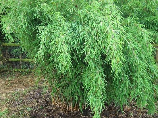 Best Bamboo for a Hedge 3