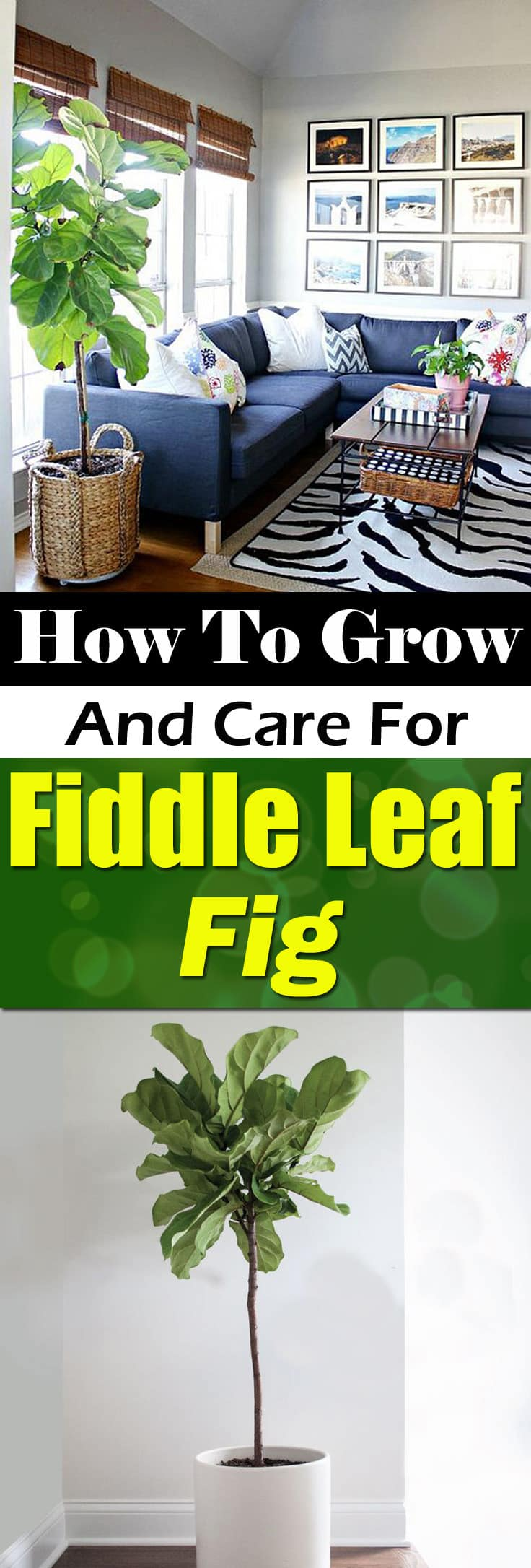 Find out how to grow and care for fiddle leaf fig. Learn about the right growing requirements and fiddle leaf fig care below.