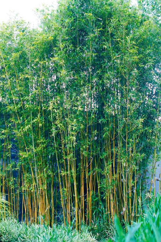 Best Bamboo for a Hedge 2
