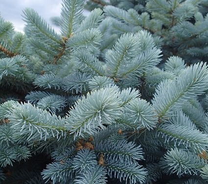 Blue Spruce Care P6050640 Mini