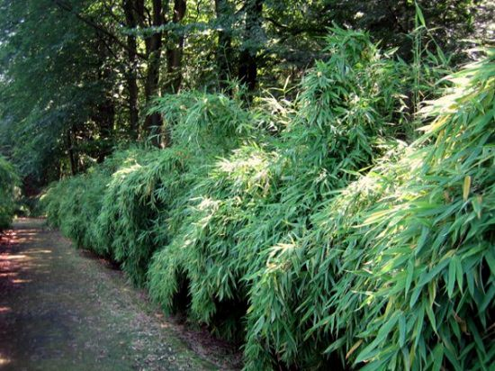 Best Bamboo for a Hedge 4