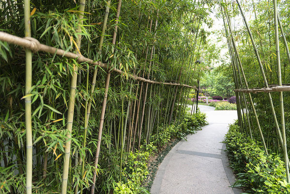 Bamboo Planting Tips to grow them right