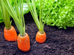 carrot companion plants (2)_mini