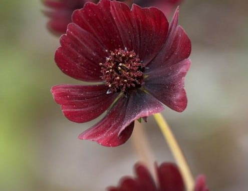 Chocolate cosmos can be a beautiful addition to your scented garden. These flowers are beauty with fragrance and smells like chocolate.