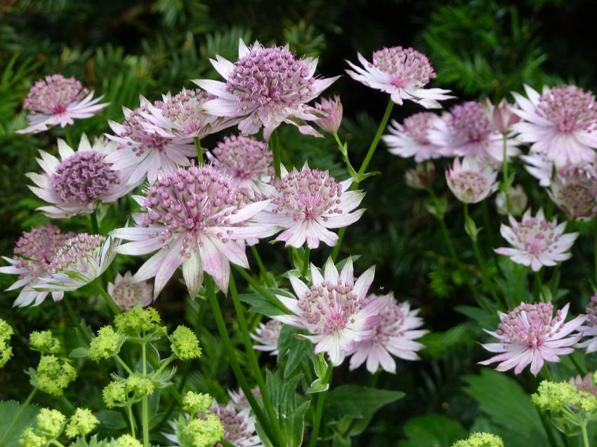 growing Astrantia
