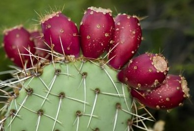 growing prickly pear