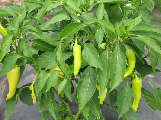 how to grow banana pepper_mini