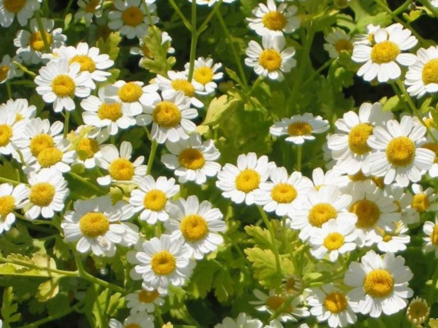 how to grow feverfew