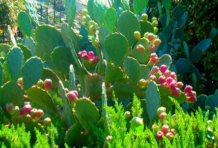Care And Growing Prickly Pear Cactus How To Grow Prickly Pears