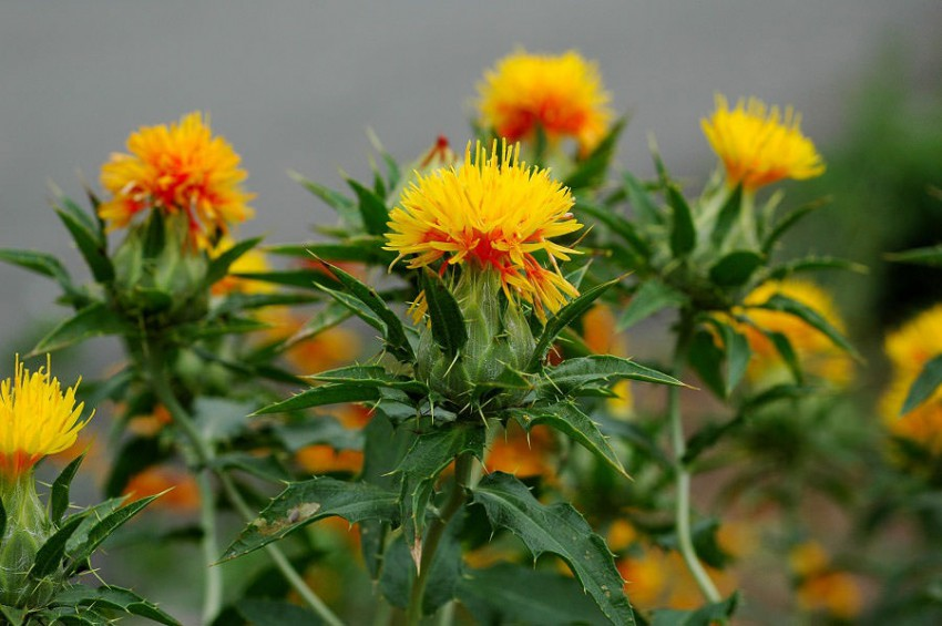 how to grow safflower