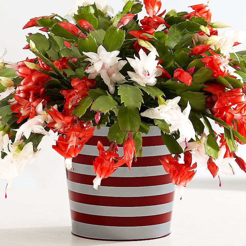 Christmas Cactus.How To Make A Christmas Cactus Bloom At Christmas