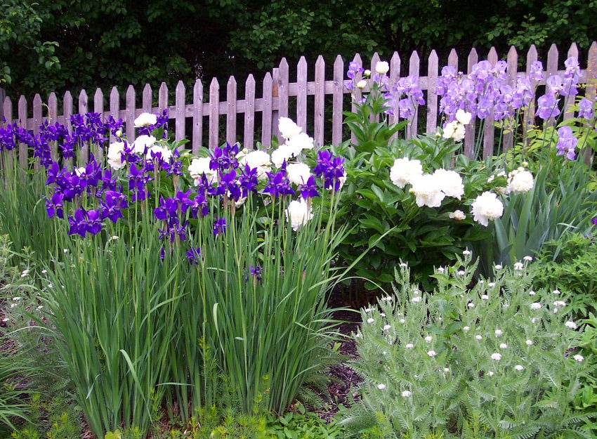 Iris Companion Plants Gardener S Guide On