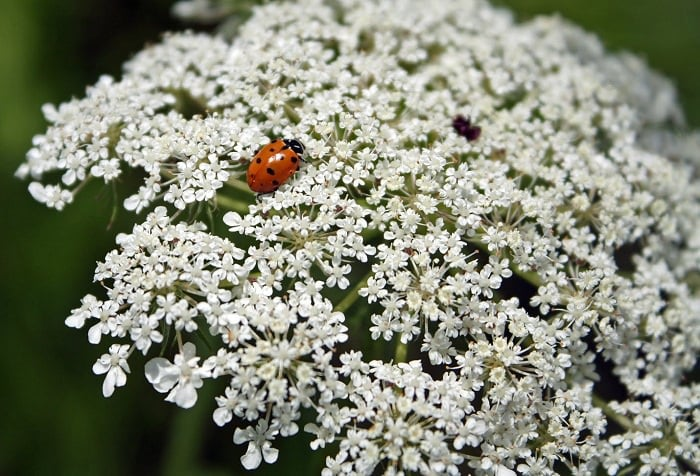 ladybug on Queen Anne's Lace