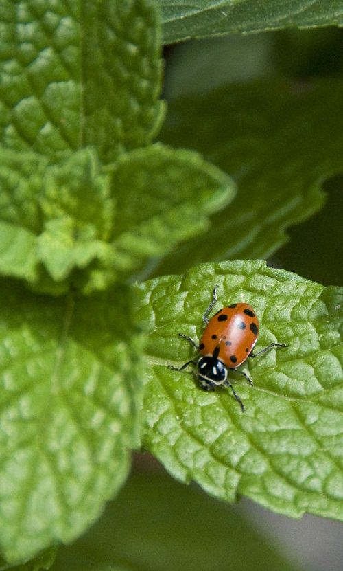 ladybug-on-mint-plant_mini