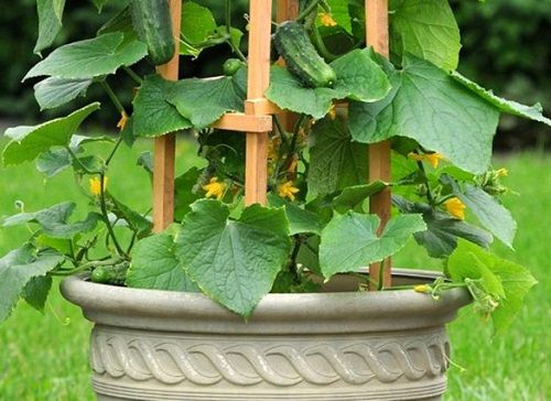cucumber on trellis in pot