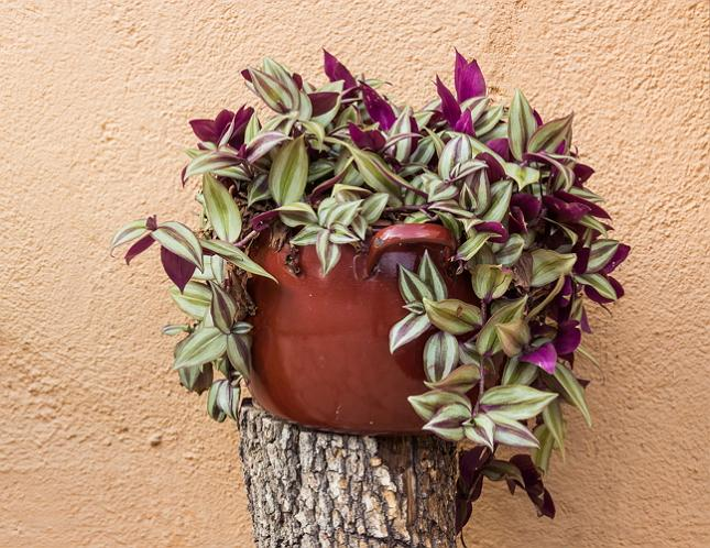 19 Easiest Houseplants You Can Grow without Care | Balcony ... on common names of indoor plants, common household plants, kinds of ivy, common indoor houseplants, english ivy, common ground cover ivy, plectranthus swedish ivy, common houseplants care of,