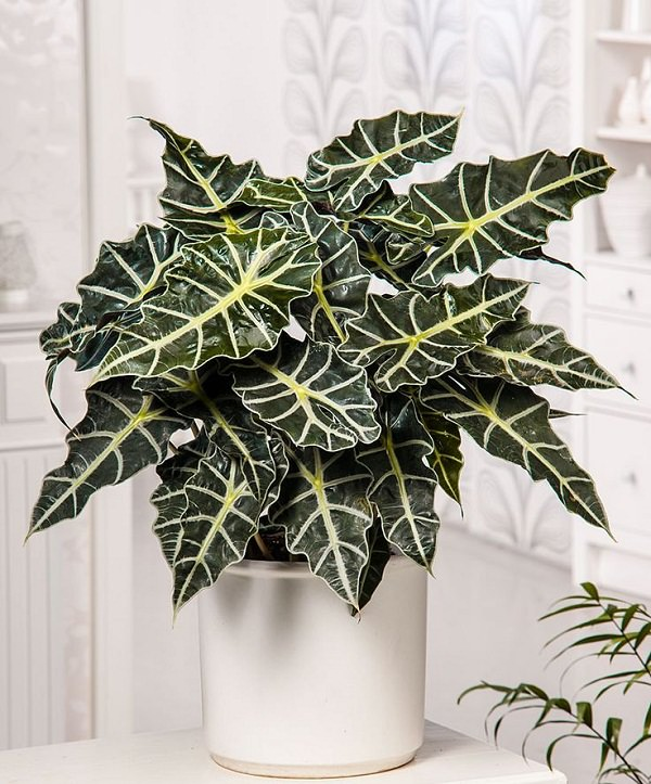 Alocasia 'Polly' 1