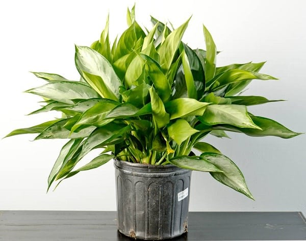 Chinese-Evergreen_mini