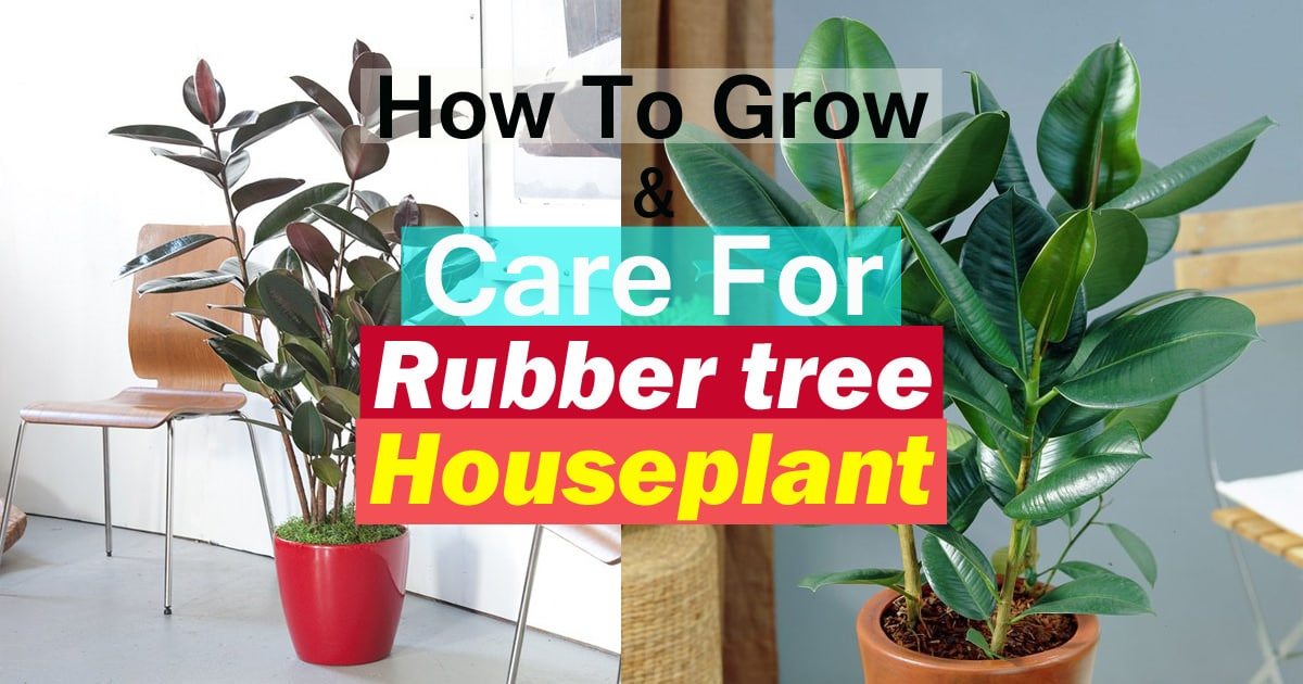 Rubber Tree Plant Care Growing Rubber Plant