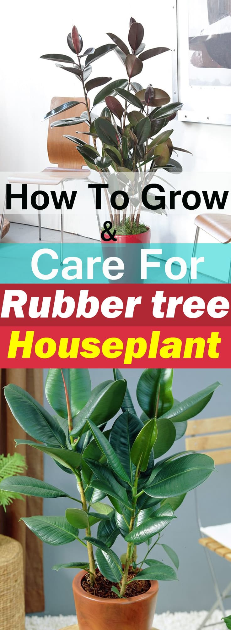 Rubber Plant Care as a houseplant is easy. Besides being an attractive low maintenance plant, it also purifies indoor air!