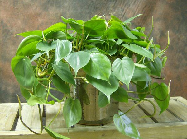 Philodendron_mini