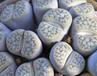 Succulents-Lithops