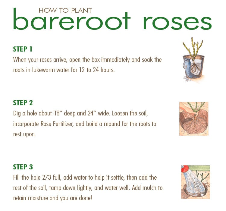 WEB-How-to-Plant-Bareroot-Roses_mini