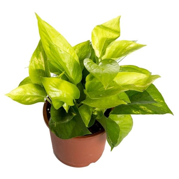 golden_pothos