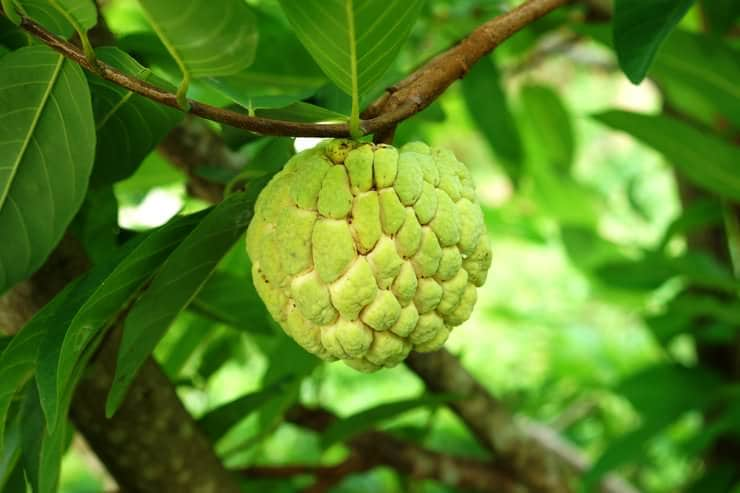 growing sugar apple