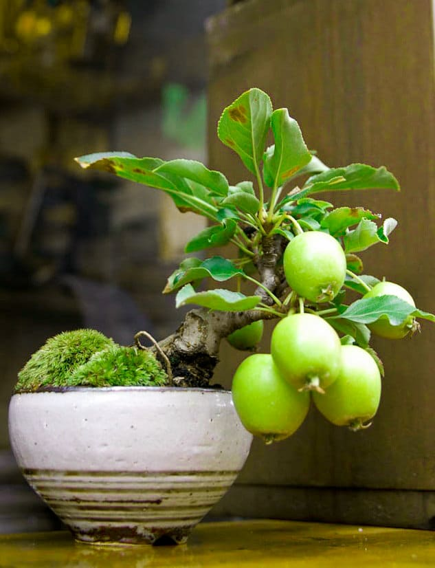 Making a Guava bonsai | Guava Tree Information, Growing and