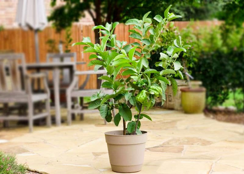 Growing Guava in Pots | Guava Tree Care and Information | Balcony Garden Web