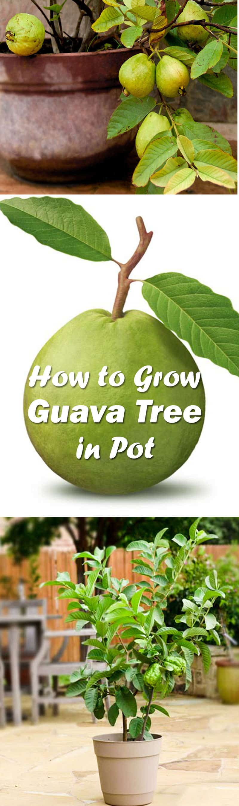 how to grow guava in pot