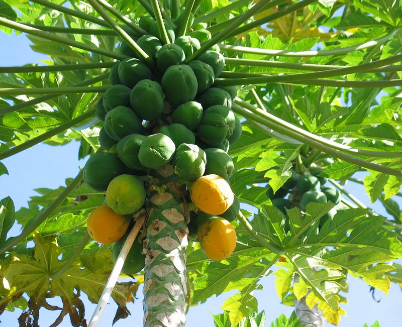 how to grow papaya
