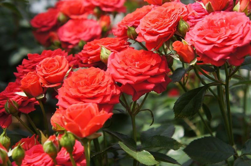 6 Things To Consider When Growing Roses Rose Maintenance