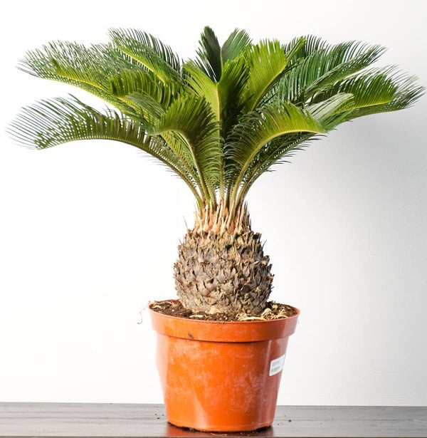 This Exquisite Plant Sago Palm Is One Of The Favorites Landscapers Usually Dogs Don T Find It Attractive But If Your Dog Exception And Has A