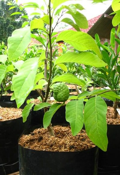 Sugar Apple Tree For Sale