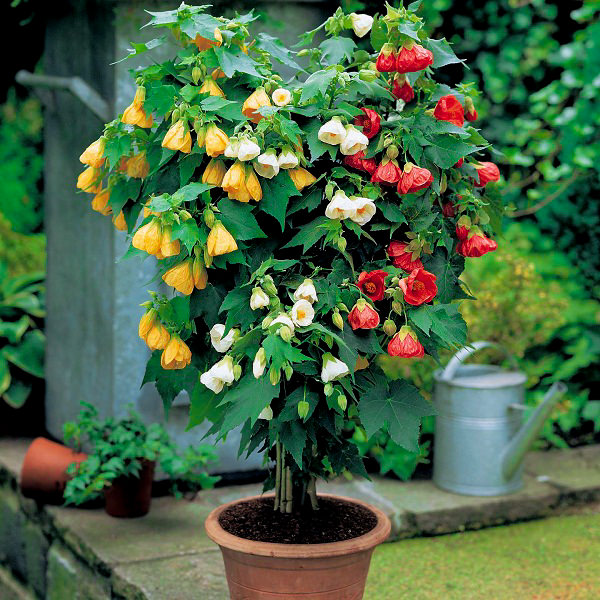 Abutilon In Pot